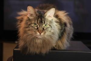 Cat On Sub Woofer